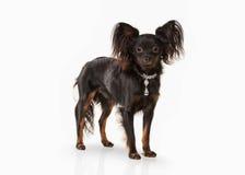 Perro Perrito ruso del terrier de juguete en el fondo blanco Imágenes de archivo libres de regalías
