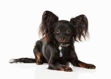 Perro Perrito ruso del terrier de juguete en el fondo blanco Imagen de archivo libre de regalías