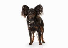 Perro Perrito ruso del terrier de juguete en el fondo blanco Fotografía de archivo libre de regalías