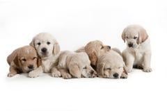 Perro - perritos del perro perdiguero de oro fotografía de archivo