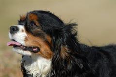 Perro - perro de aguas de rey Charles arrogante Foto de archivo libre de regalías