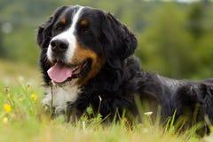 Perro - perro de montaña de Bernese Fotografía de archivo