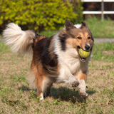 Perro, perro pastor de Shetland Imagen de archivo libre de regalías