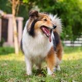 Perro, perro pastor de Shetland, collie, sheltie Imagen de archivo libre de regalías