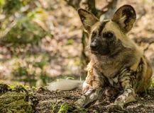 Perro pintado africano que miente en la tierra y que anticipa fotos de archivo