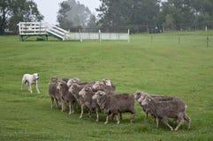 Perro pirenáico blanco de la montaña con multitud de las ovejas imagen de archivo