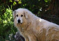 Perro pirenáico de la montaña Fotografía de archivo