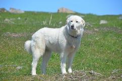 Perro pirenáico de la montaña Foto de archivo