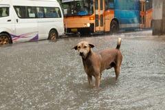 Perro pobre de la calle que se coloca en agua de inundación de la lluvia Imagen de archivo libre de regalías