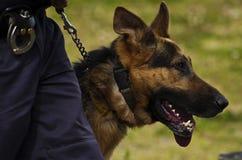 Perro policía Imágenes de archivo libres de regalías