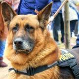 Perro policía en la misión - pastor alemán Fotos de archivo libres de regalías