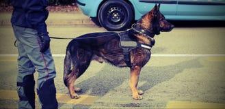 Perro policía entrenado durante vigilancia a lo largo de las calles del Fotografía de archivo libre de regalías