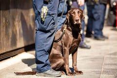 Perro policía K9 así como el oficial de servicio imagen de archivo