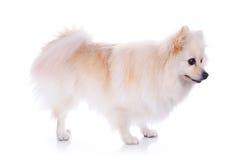 Perro pomeranian blanco Foto de archivo libre de regalías
