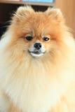 Perro pomeranian de la cara mullida Fotografía de archivo libre de regalías