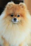 Perro pomeranian de la cara mullida del primer Imagenes de archivo