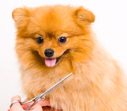 Perro pomeranian de la preparación Fotos de archivo