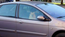Perro pomeranian hermoso en coche el esperar y cerrado Solamente fotos de archivo