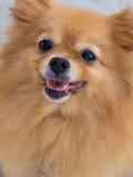 Perro pomeranian maduro de la sonrisa Fotografía de archivo libre de regalías