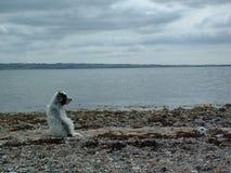 Perro por el mar Fotos de archivo libres de regalías
