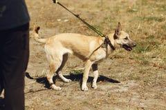 Perro positivo marrón grande del refugio con los oídos grandes que presentan afuera Imagen de archivo