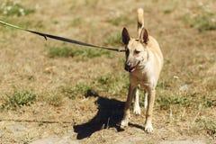 Perro positivo marrón grande del refugio con los oídos grandes que presentan afuera Fotografía de archivo