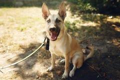 Perro positivo marrón grande del refugio con los oídos grandes que presentan afuera Fotografía de archivo libre de regalías