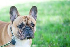 Perro Primer del retrato del dogo francés Espacio para el texto Imagen de archivo libre de regalías