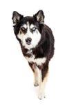 Perro protector de la raza grande que mira adelante Imagen de archivo