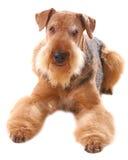 Perro Airedale fotografía de archivo libre de regalías