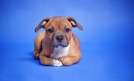 Perro puro de la casta de Staffi fotografía de archivo libre de regalías
