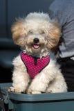 Perro puro hermoso del frise del bichon de la raza Foto de archivo libre de regalías