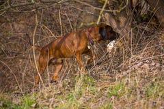 Perro que busca para un animal Foto de archivo