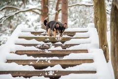 perro que camina abajo de las escaleras Imágenes de archivo libres de regalías
