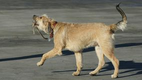 Perro que camina con su ventaja Foto de archivo libre de regalías
