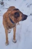 Perro que camina en bosque del invierno Foto de archivo libre de regalías