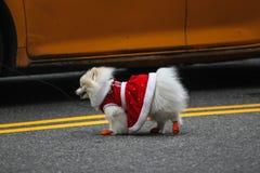 Perro que camina en calle Foto de archivo libre de regalías
