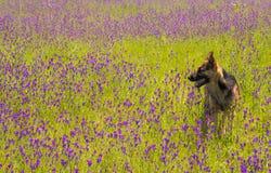 Perro que camina en campo con las flores violetas Foto de archivo libre de regalías