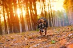 Perro que camina en el bosque en la puesta del sol Fotos de archivo