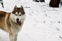 Perro que camina en el parque en invierno fotos de archivo