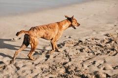 Perro que camina en la playa fotos de archivo