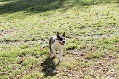 Perro que camina en parque Foto de archivo libre de regalías