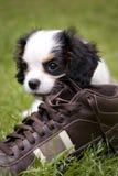 Perro que come el zapato Fotografía de archivo libre de regalías