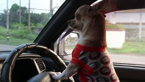 Perro que conduce el coche almacen de video