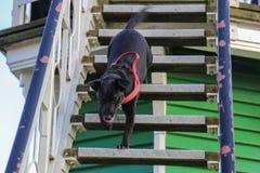 Perro que corre abajo de las escaleras Imagenes de archivo