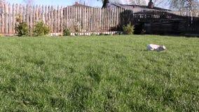 Perro que corre alrededor del césped Chihuahua almacen de video
