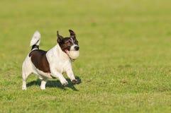 Perro que corre con la bola Imagen de archivo