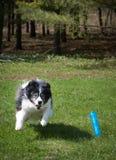Perro que corre después de juguete Fotos de archivo