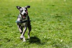 Perro que corre en campo herboso Imagen de archivo libre de regalías
