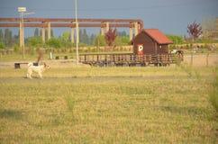 Perro que corre en el parque del oeste Imagen de archivo